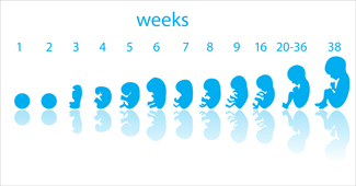 Fetus-Stages